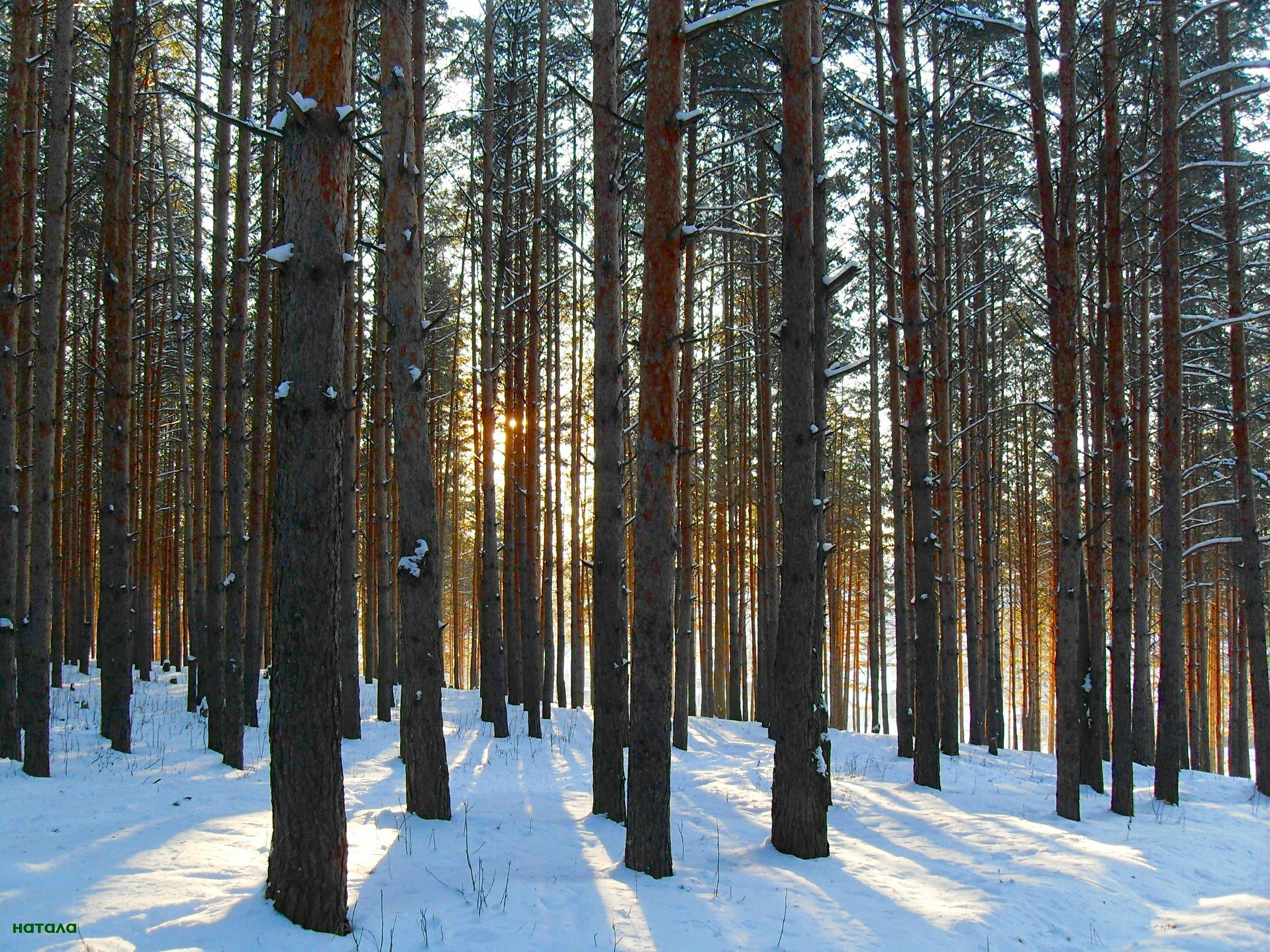 поверхности появляются зимние фотографии в сосновом лесу сленге профессиональных