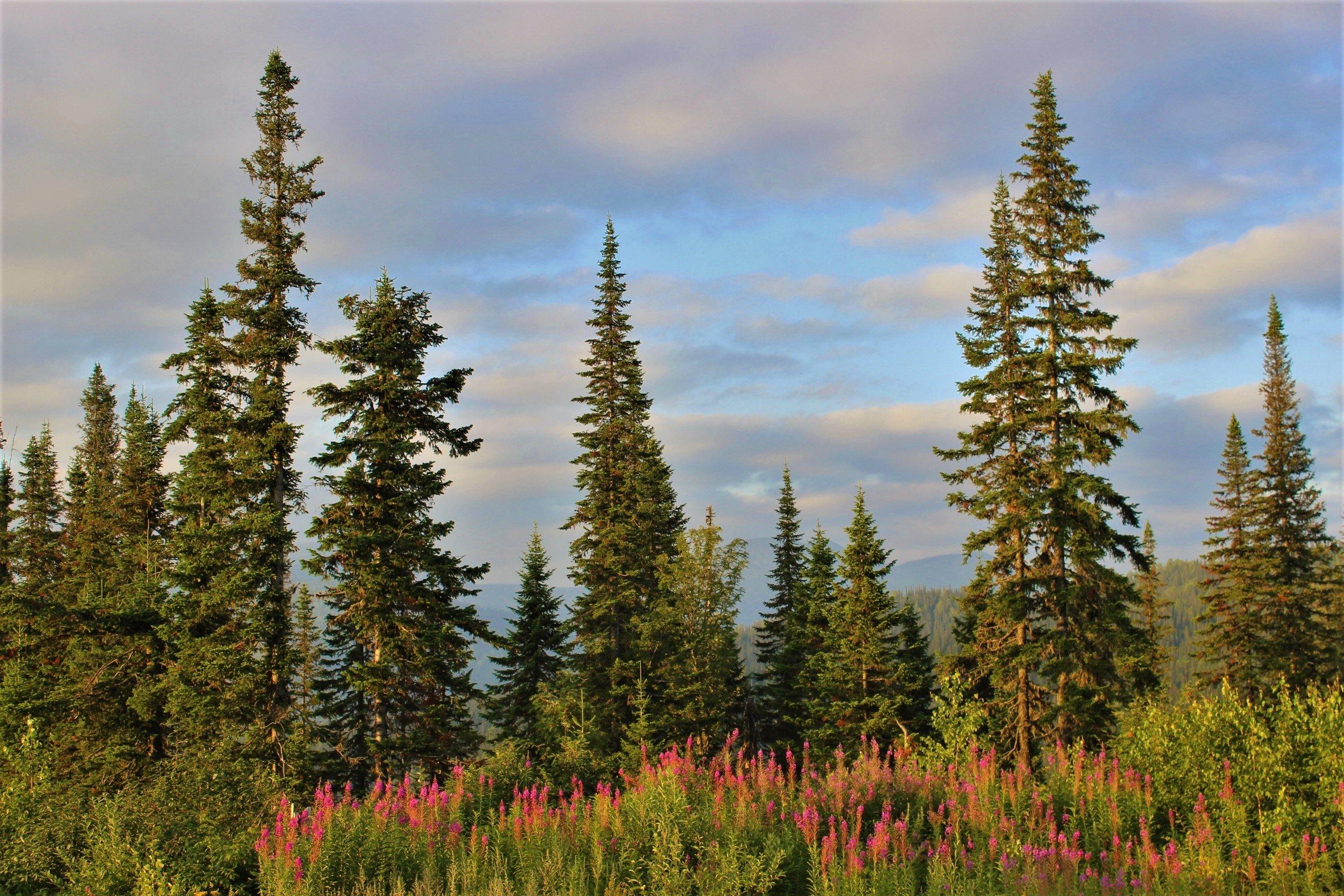 Таежный лес картинки