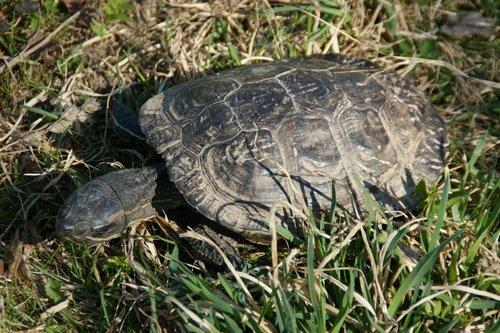 Северная черепаха