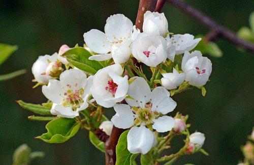 майское цветение груши