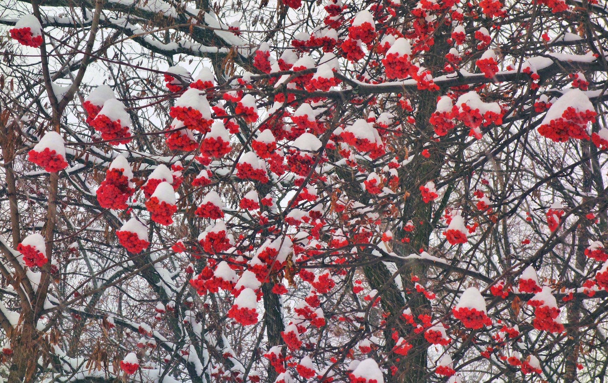 дерево рябины в снегу картинки упал
