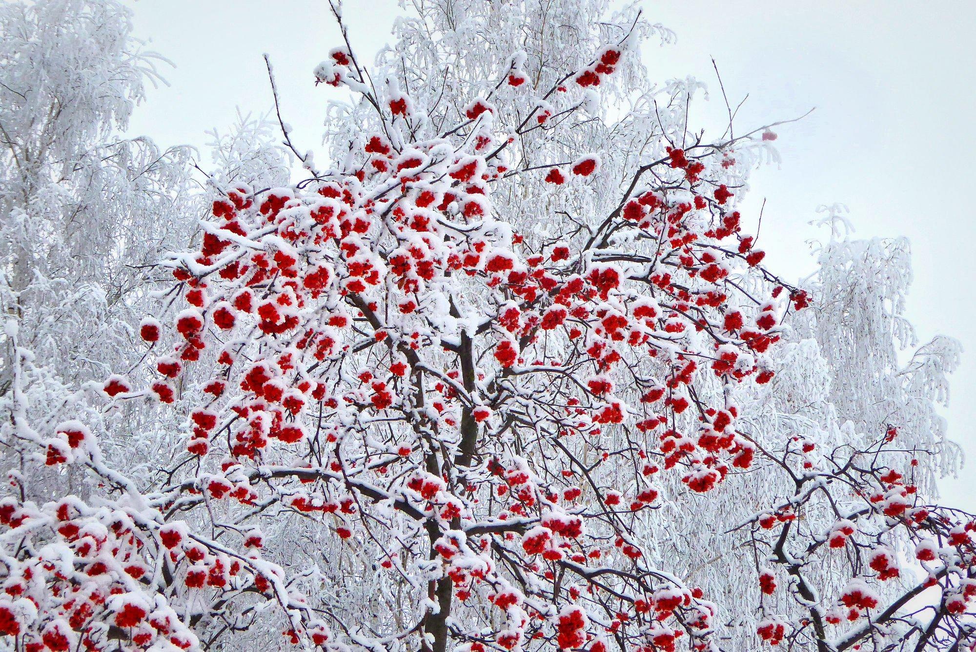 Картинки дерева рябины зимой для детей