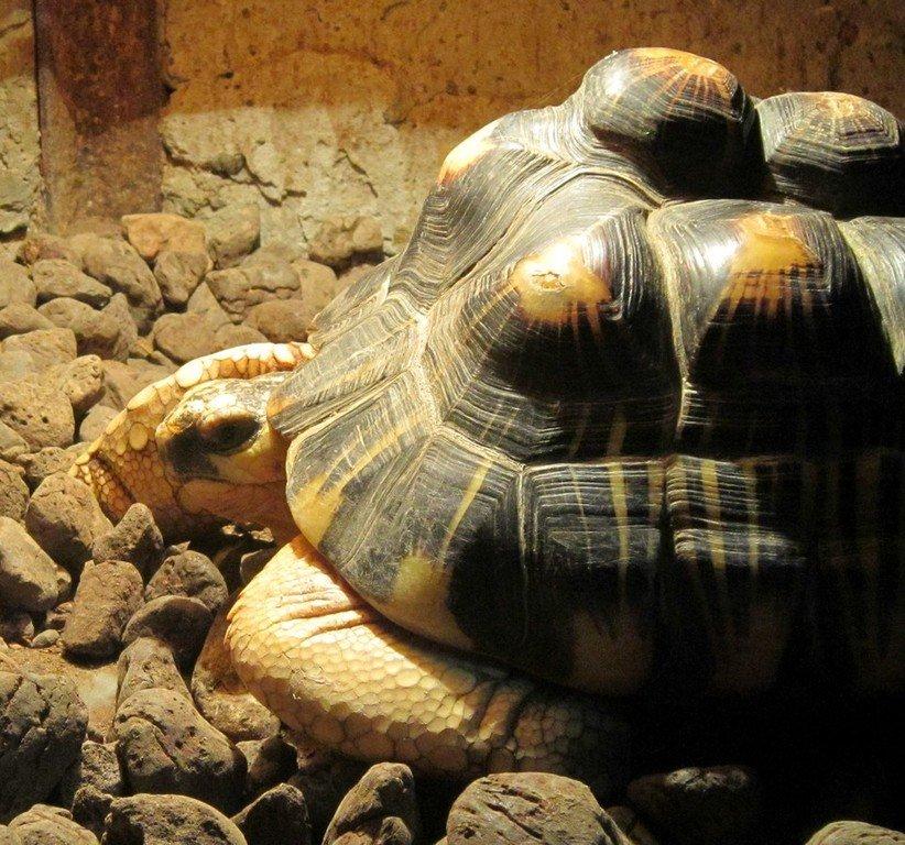 Лучистая черепаха.