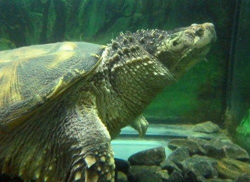 Каймановая черепаха.