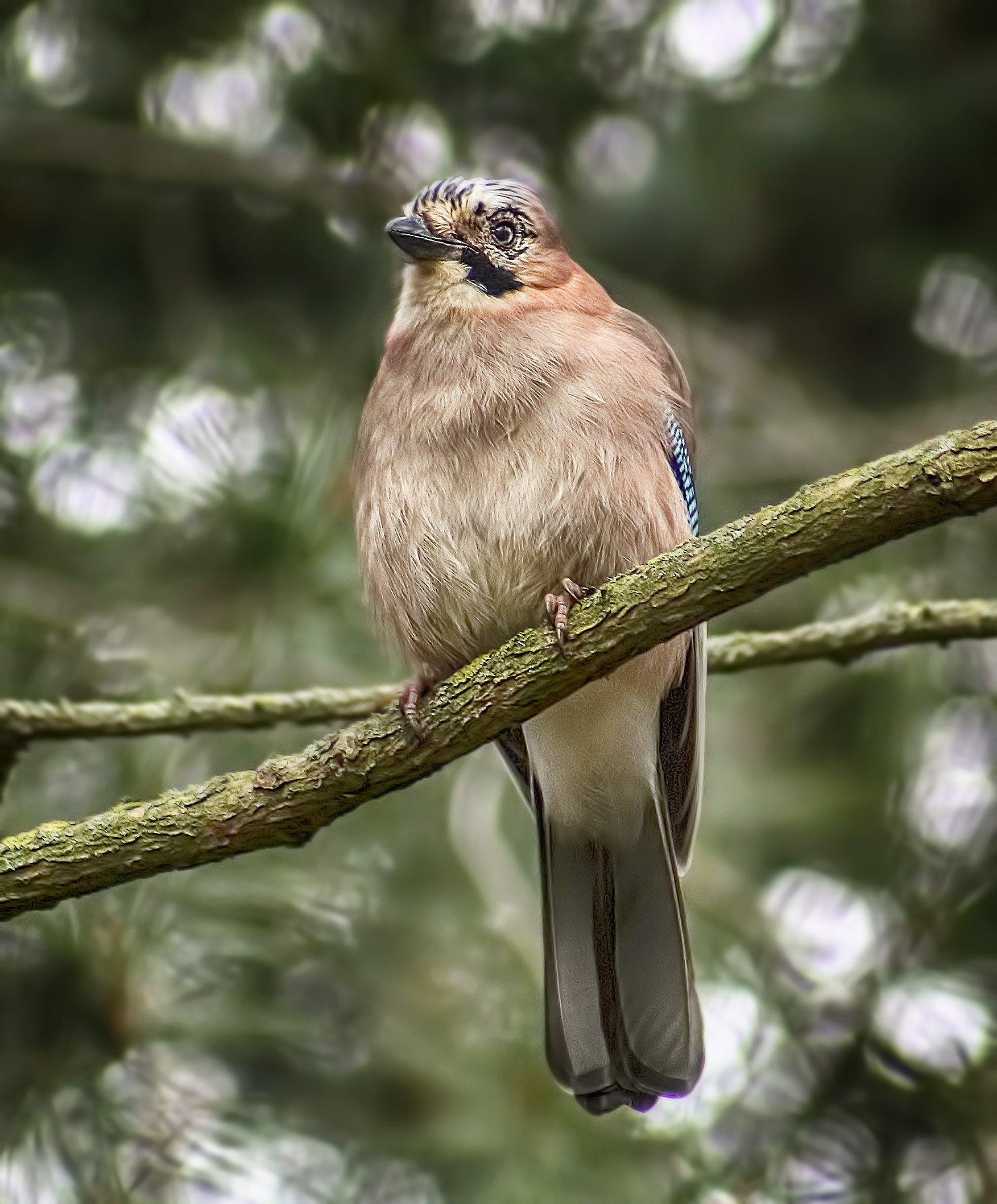 уходовых процедур показать фото птицы сойки мороз