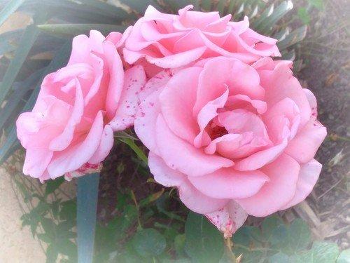 Южные розы.