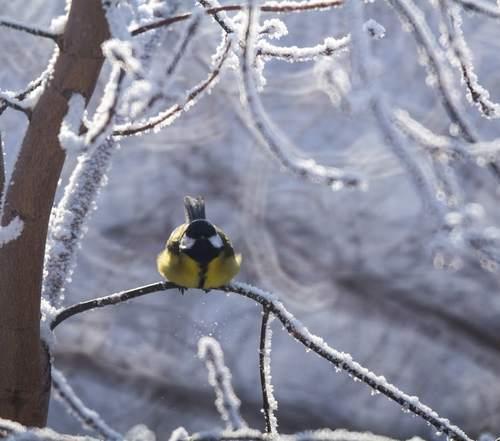 Шары синичек в снежных кружевах..СТИХИ.