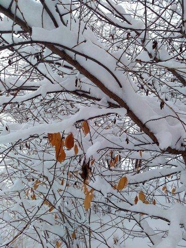 Снежные ветви.