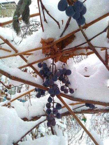 Зимняя веточка винограда.